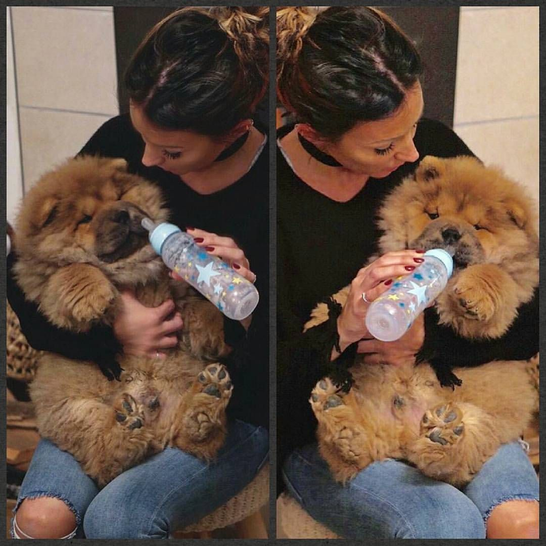 4 592 Likes 75 Comments Chowstagram Chow Chow Puppies