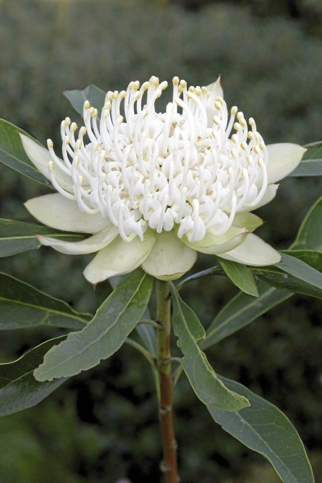 PERHAPS one of the most spectacular of all Australian native flowering plants is the floral emblem of New South Wales telopea speciosissima