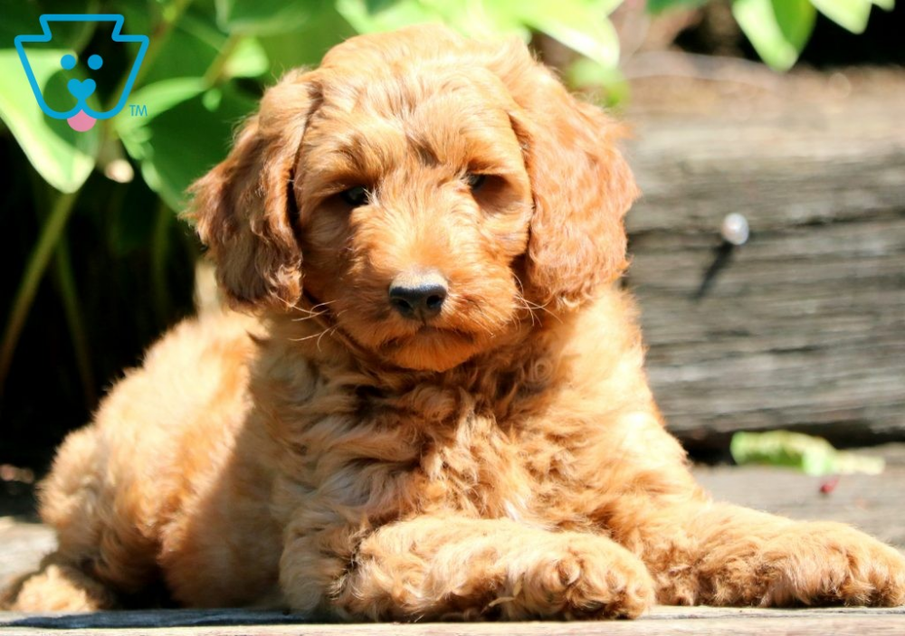 Nick Goldendoodle Miniature Puppy For Sale Keystone Puppies Miniature Puppies Goldendoodle Miniature Goldendoodle Puppy