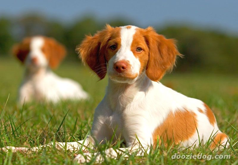 Brittany Puppy Medium Size Small Energetic Sweet Nature Good Family Dog Brittany Dog Brittany Puppies Brittany Spaniel Dogs