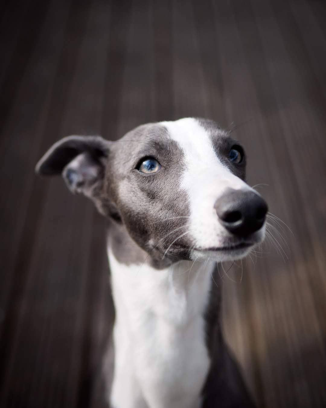 Whippet Portrait On Instagarm Whippet Named Blue Whippets Are Good For Both Homes With Yards And Apartments Beware With Images Whippet Puppies Whippet Dog Blue Whippet