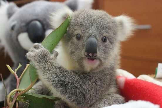 Adorable Cute Animals Baby Koala Cute Animals Animals