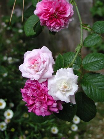 Rosa 'Russelliana' AKA 'Russell's Cottage Rose' (Unknown origin, before 1826)