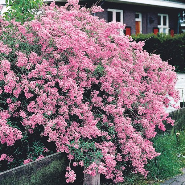 You Can 39 T Beat This Radiant Pink Honeysuckle For A Tall Screen Of Background Hedge It Is Quite Hardy Disease Resistant And Dwarf Lilac Plants Buy Garden
