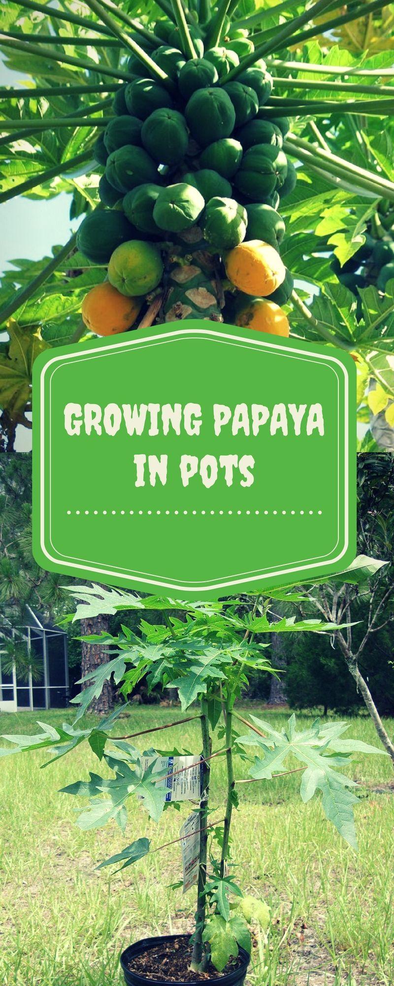 How to grow papaya tree from seeds in a pot papaya tree