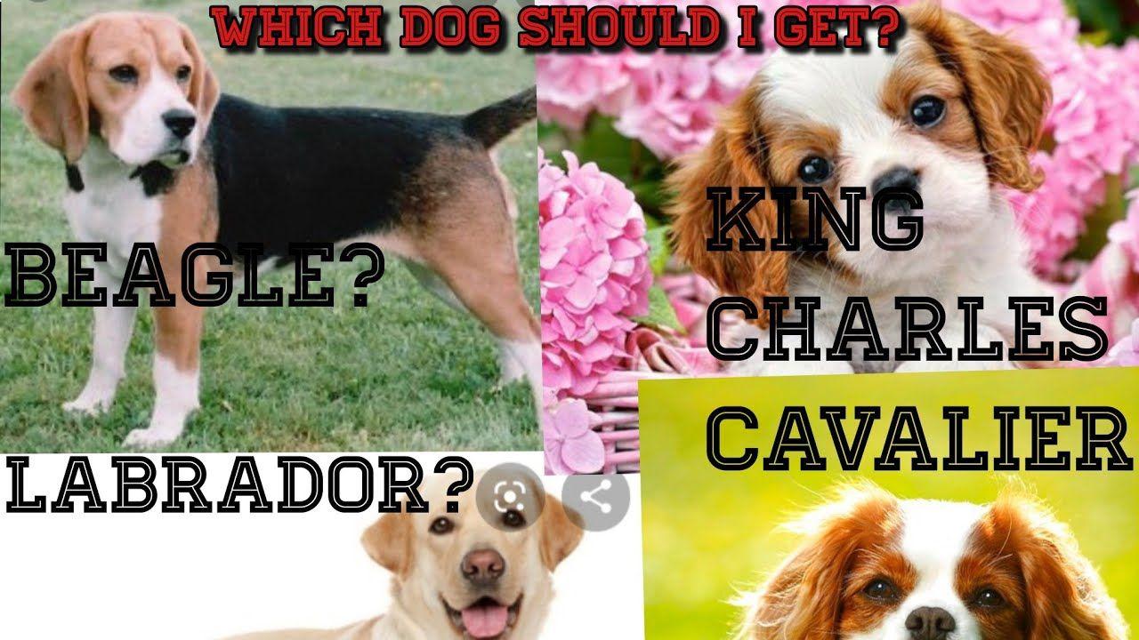 Pin On I Love Beagle
