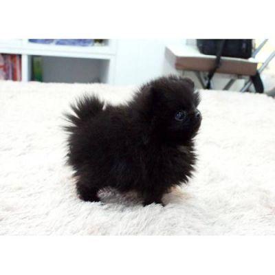 Cuccioli Di Spitz Pomerania Cuccioli Di Spitz Pomeranian Mini Toy