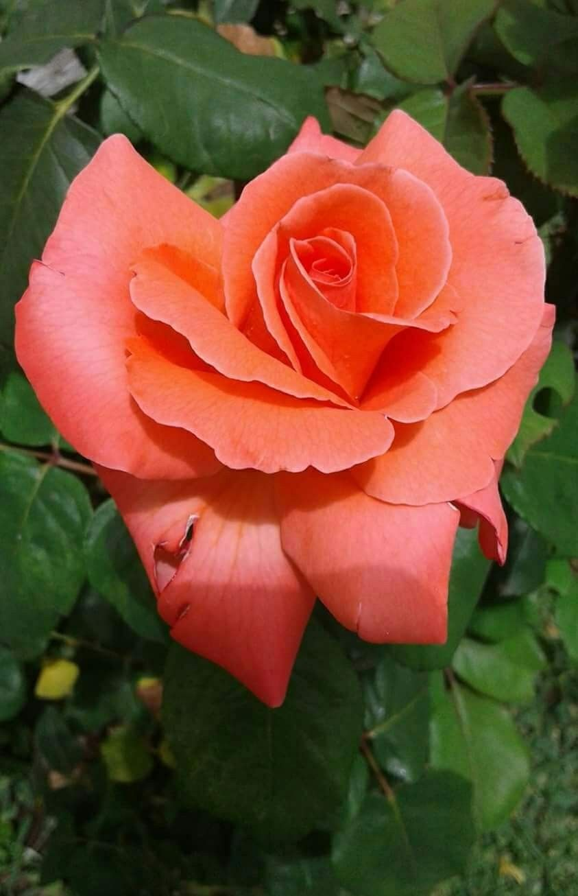 Pin by patricia stautihar on rose is a rose pinterest flowers find this pin and more on rose is a rose by pstautihar izmirmasajfo