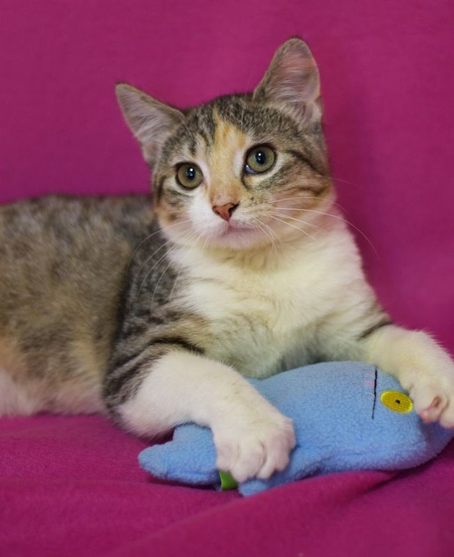 Available for adoption - Veronica is a female cat, Domestic Short Hair, located at All Cats Rescue in Sioux Falls, SD.
