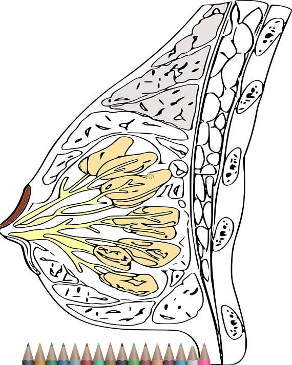 Pin On Anatomy Coloring Pages