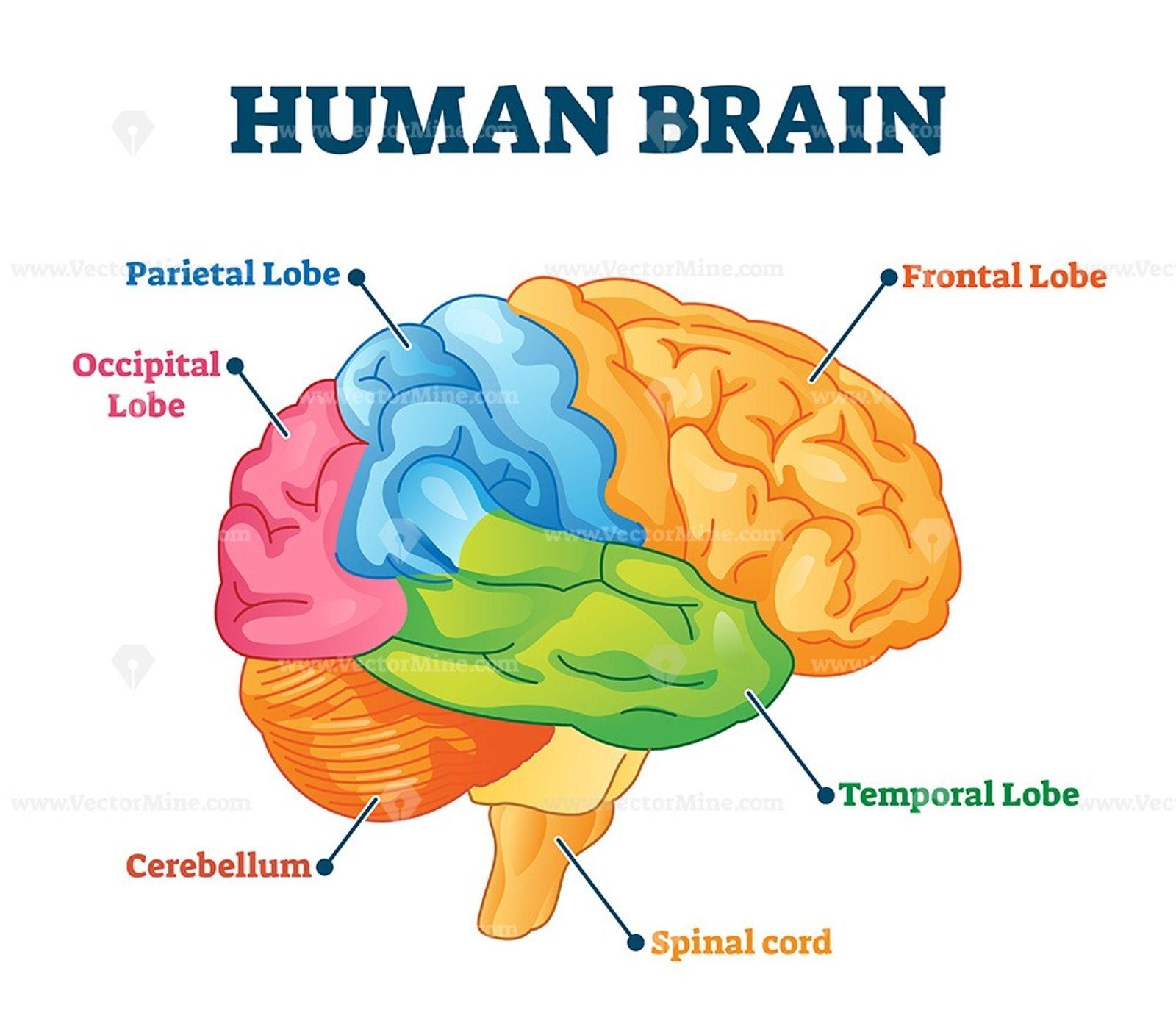 Human brain vector illustration | Human brain, Brain ...