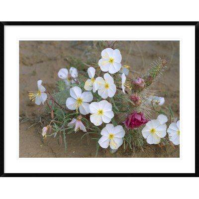 Global Gallery Evening Primrose with Grizzly Bear Cactus, North America by Tim Fitzharris Framed Photographic Print Size: