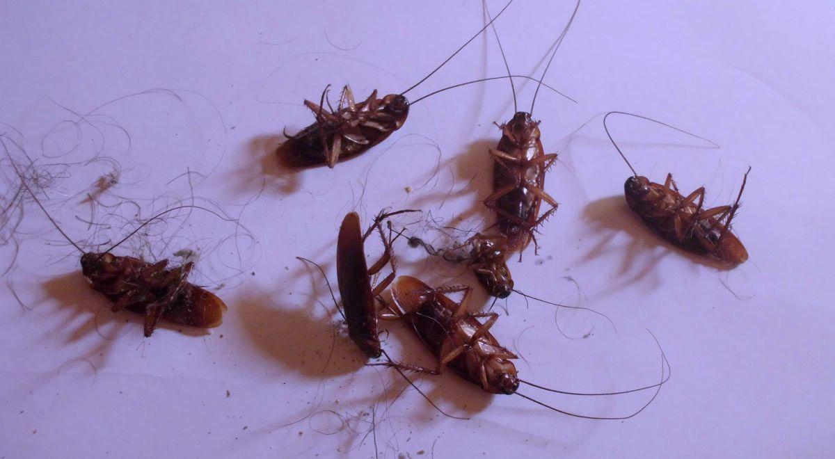 Exterminar cucarachas cosas sobre las cucarachas - Exterminar pulgas en casa ...