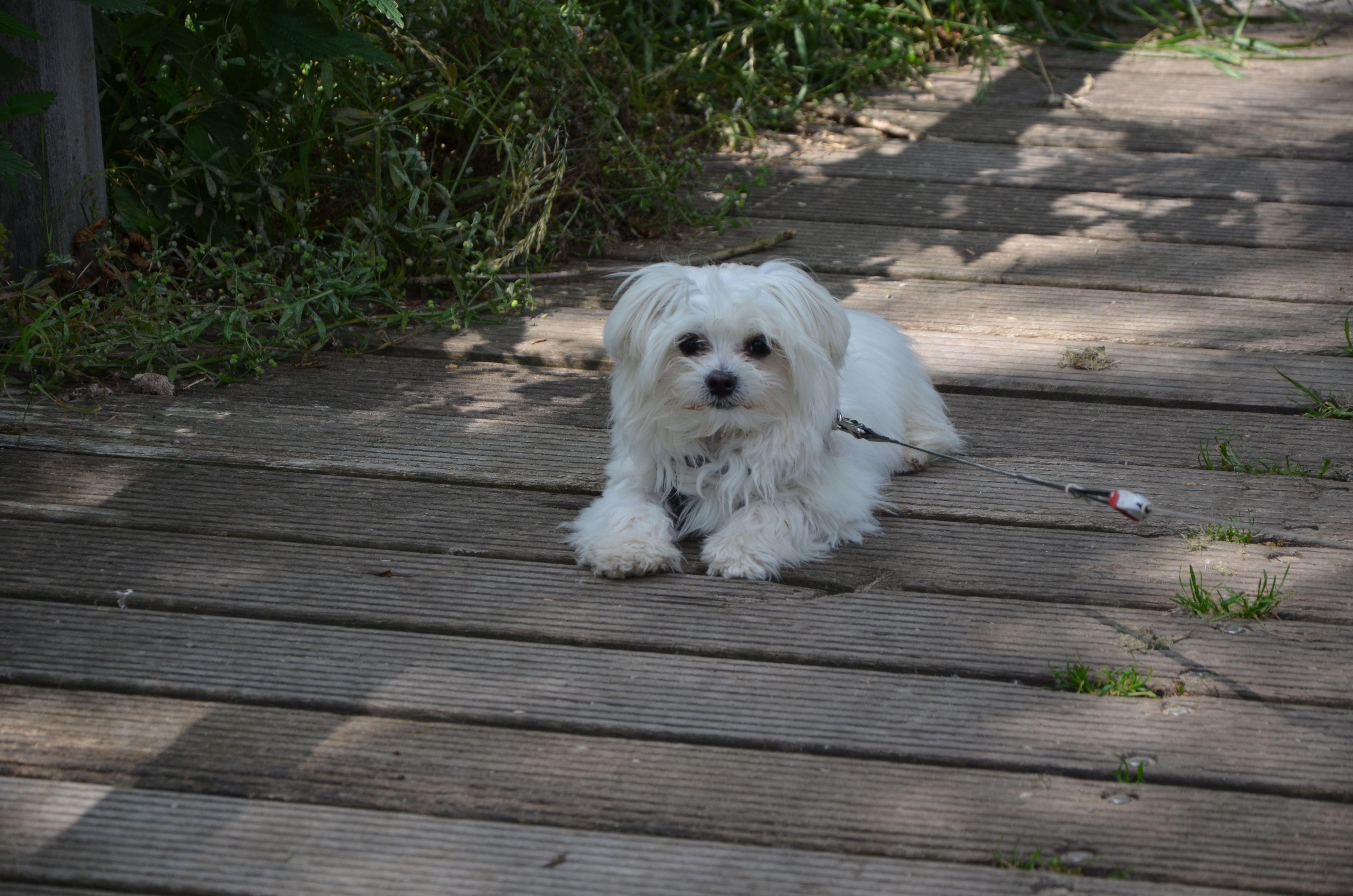 Titus Bichon Maltese Pawshake Dogs Animals Maltese