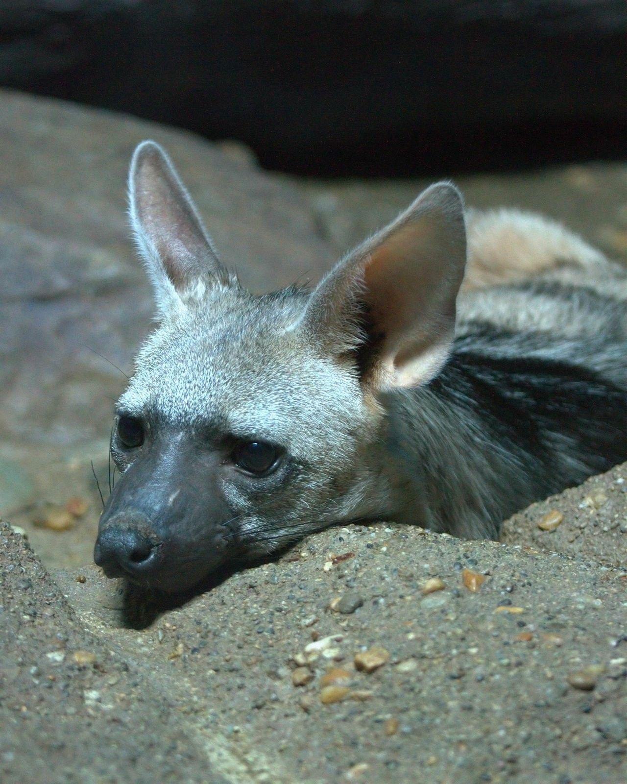 "Aardwolf at the Cincinnati Zoo. Body length 22""31"