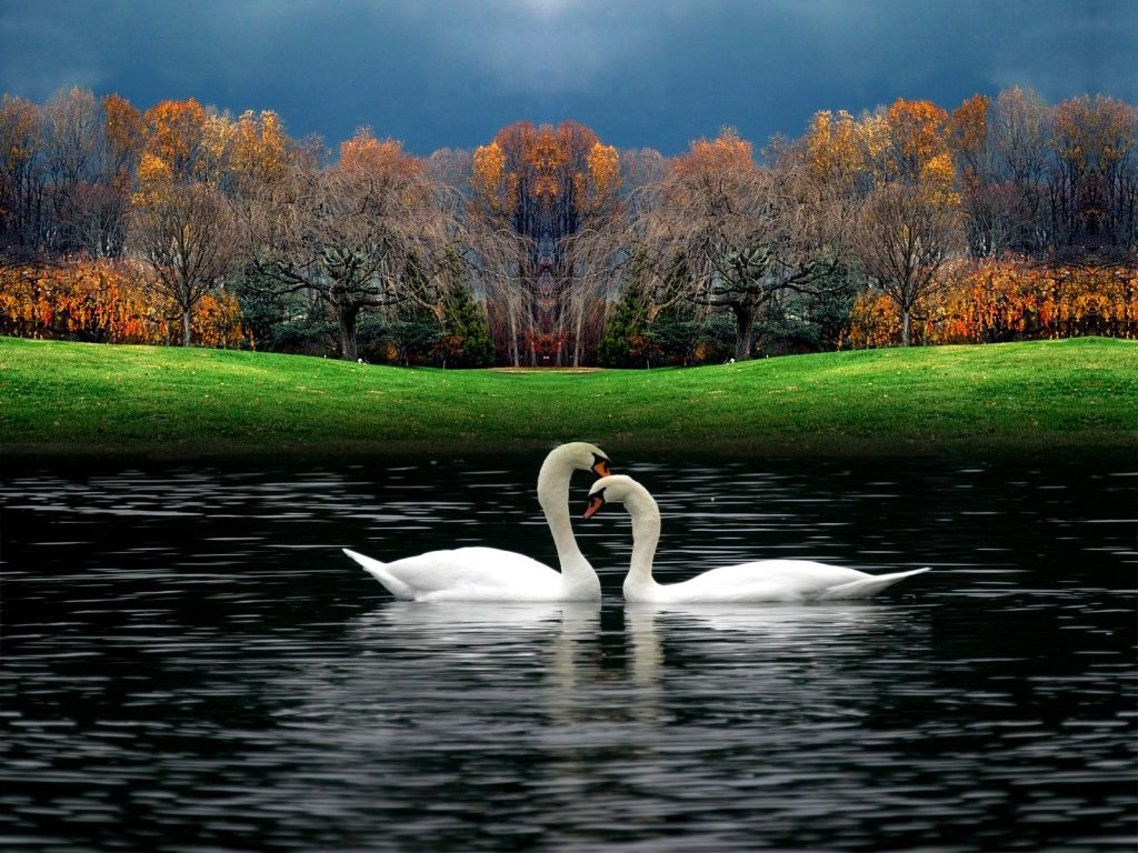 Couple Swan Hd Wallpapers Hd Wallpapers Beautiful Images Nature Beautiful Photos Of Nature Hd Nature Wallpapers