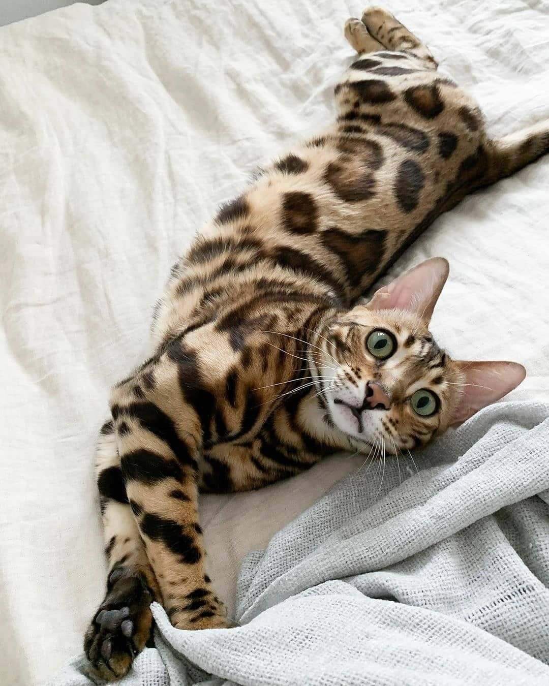 Bengal Lovers Bengals Lovers Posted On Instagram Love The Patterns Follow Bengals Lovers Follow Bengals Lovers Follo Di 2020 Kucing Bengal Kucing