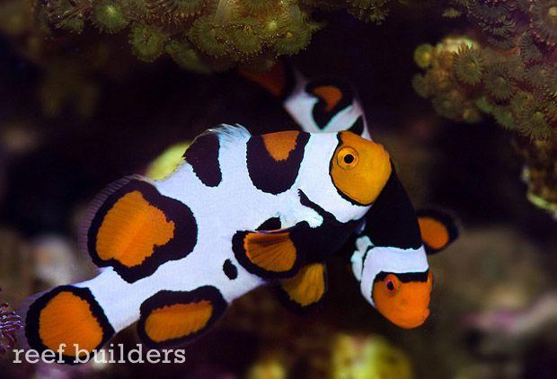 Behind The Face Of Liveaquaria Kevin Kohen S Fish Collection Part 3 Clown Fish Fish Pet Fish