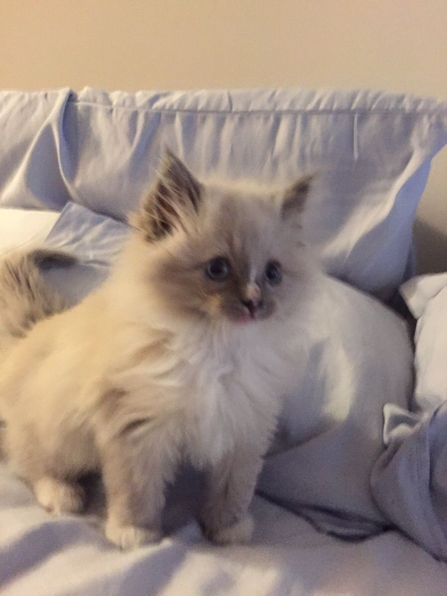 Say hello to our new ragdoll kitten Gary Ragdoll kitten