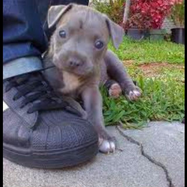 Can Someone Please Get Me A Blue Pitbull Puppy Pictures Of
