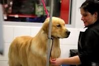 Copley And Master Groomer Indya Sheehan From Rainyday Goldens In Ma Photo By Jill Simmons Dog Show Golden Retriever Dog Training