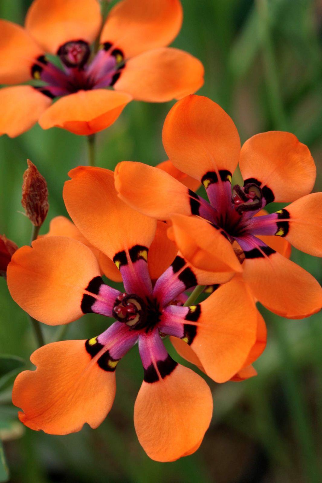 Sparaxis Elegans Pretty Petals Pinterest Beautiful Flowers