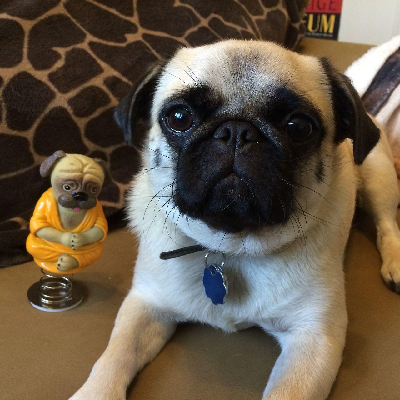 Wombatarama Momo S New Meditation Teacher Our New Dashboard Pug Buddha Already Has An Adorable Fan Pugs Pug