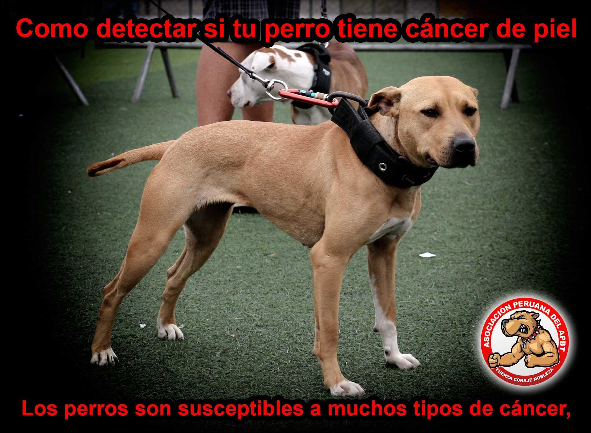 Los Perros Son Susceptibles A Muchos Tipos De Cancer Al Igual Que