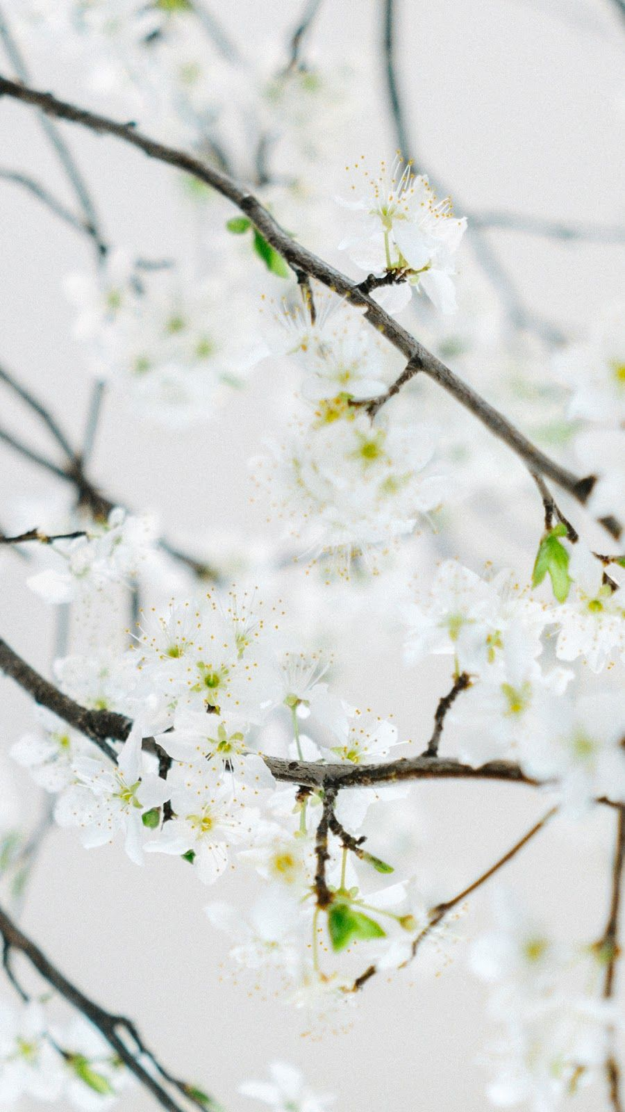 Cherry Blossom Wallpaper Iphone Android Cherry Blossom Wallpaper Photography Wallpaper Plant Wallpaper