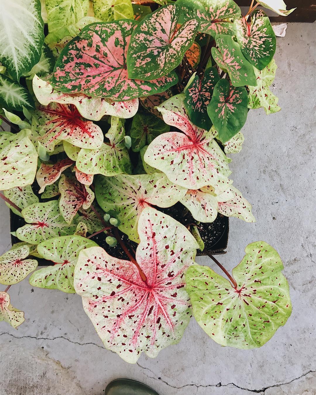 Caladium macetero for Vivero plantas exoticas