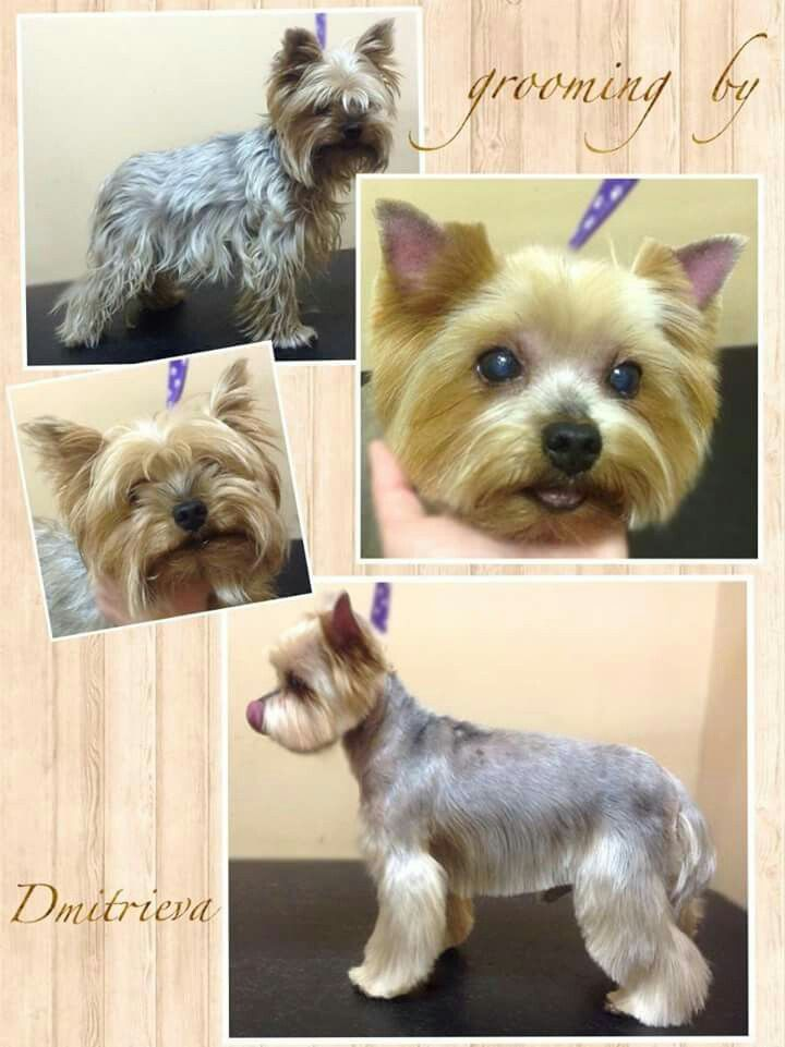 Pin By Pet Groomer S Profit Generatin On Yorki Dog Grooming