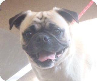 No Longer Listed California Pug Mix Meet Bugsy 130773 In Need