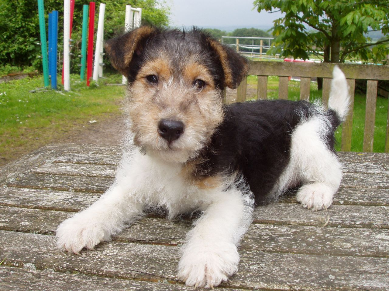 Adorable Wire Haired Fox Terrier Puppy