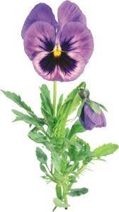 desenho amor perfeito flor - Pesquisa Google