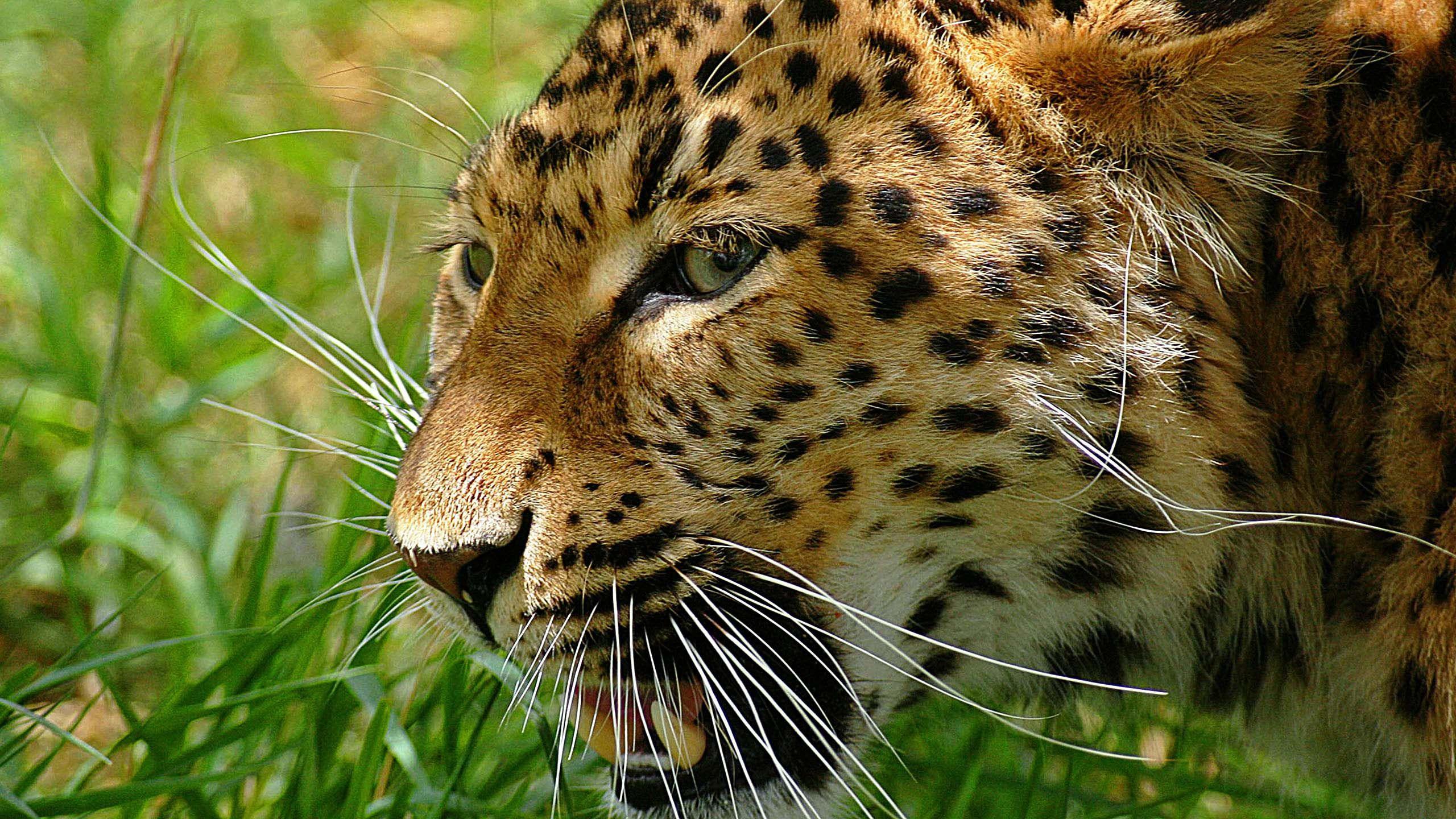 Gambar Leopard Http 1080wallpapernet Gambar Leopardhtml