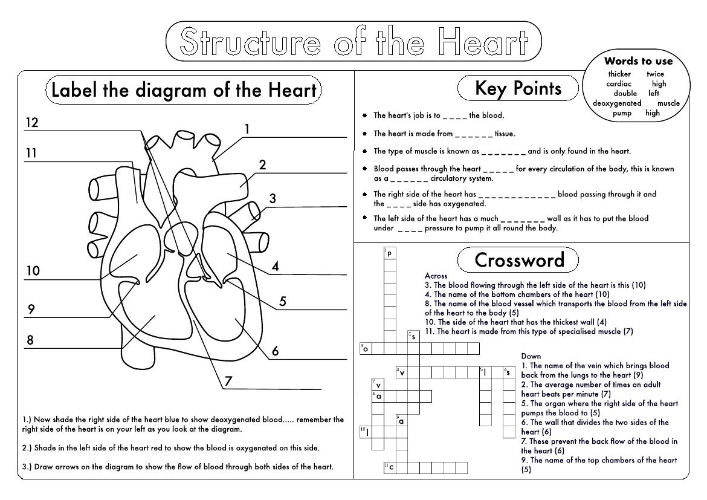 Gcse Biology  Heart Structure Worksheet Pack