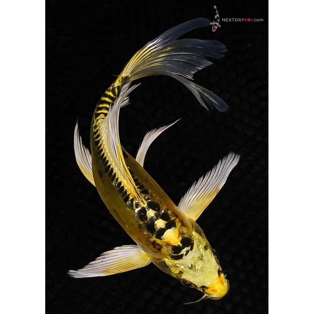 Tancho Hariwake Koi Pondok Indah Jakarta Koi Fish Colors Koi Fish Koi Carp