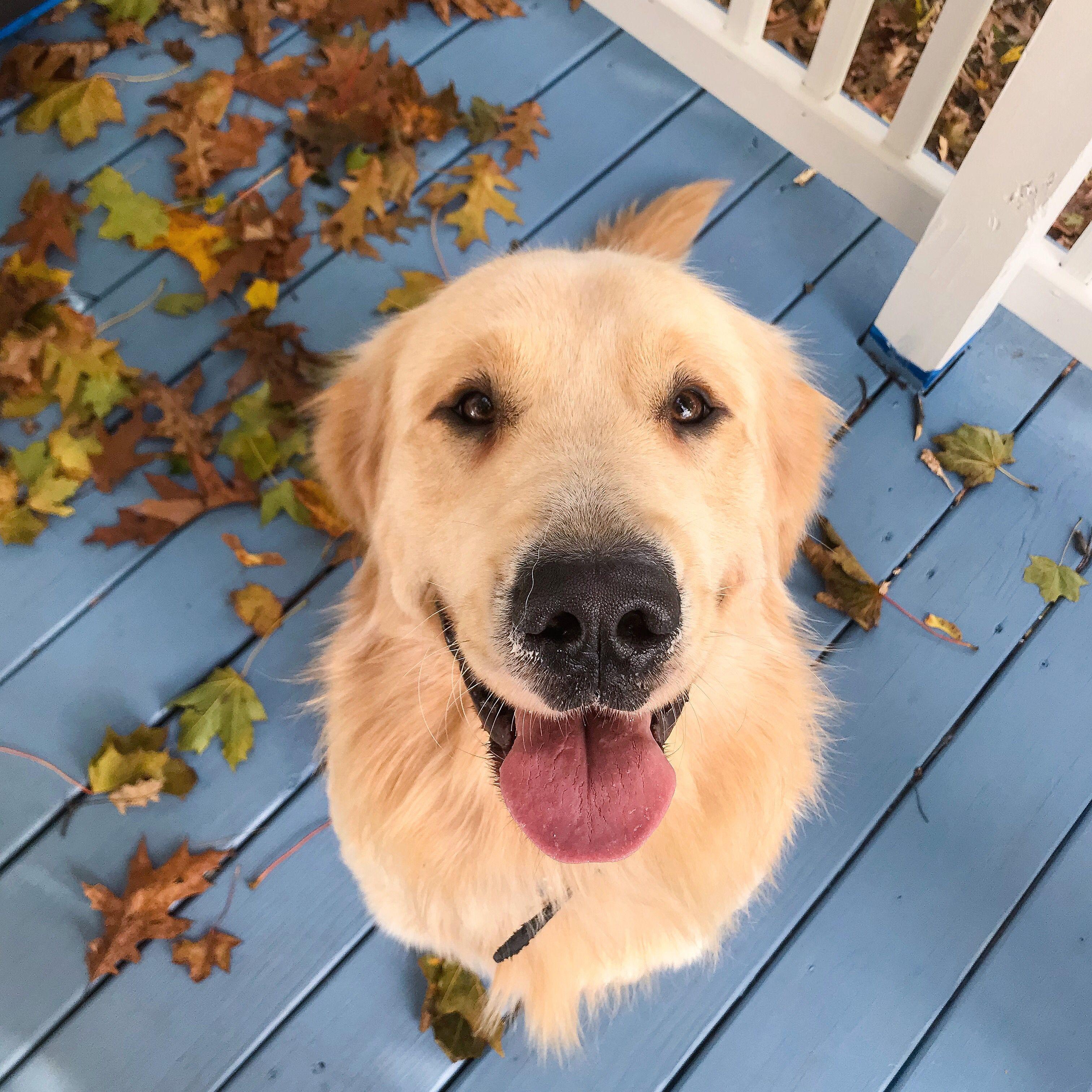 Golden Retriever Puppy From Maine Enjoying The Beautiful Fall