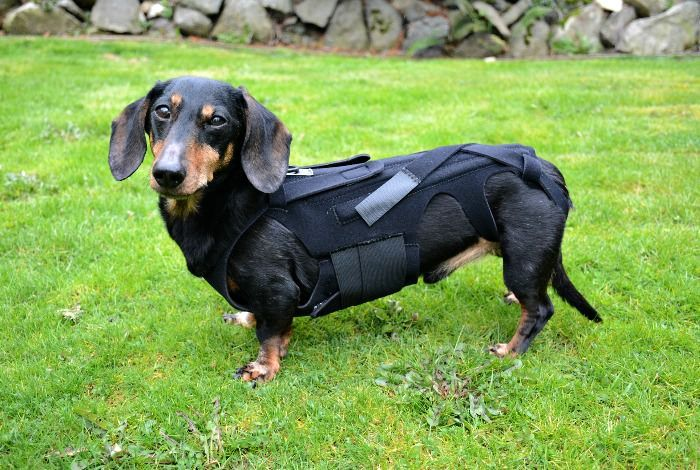 How To Help A Dog With Back Problems Dog Braces Dachshund Dogs