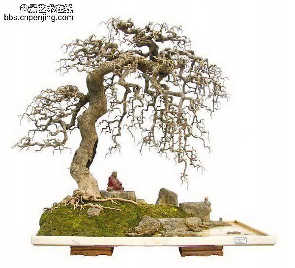chinese bonsai trees. #bonsai
