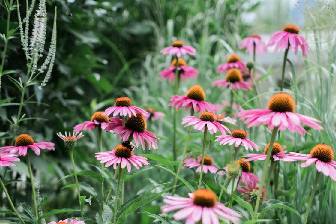 What Are The Actual Benefits Of Echinacea Echinacea Benefits Mindbodygre What Are The Actual Be In 2020 Echinacea Benefits Echinacea Echinacea Tea Benefits