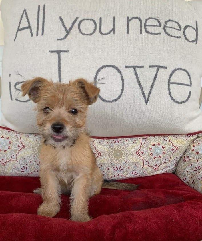 Adopt Peri On Petfinder In 2020 Pet Finder Terrier Mix Maltese Yorkie Mix