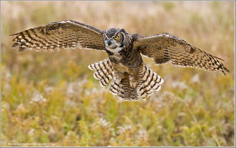 Great Horned Owl Flying Tattoo flying | Owl Tattoo In...