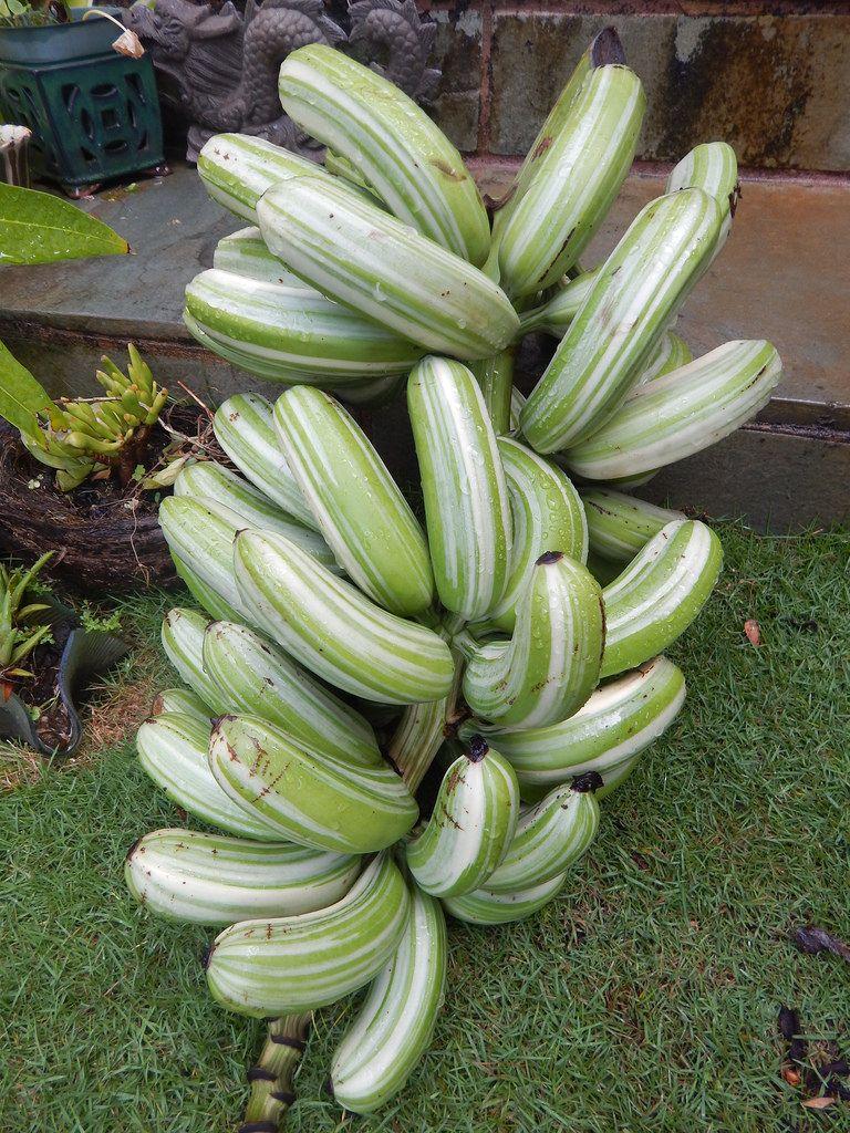 Image Result For Variegated Banana Fruit Plant Fruit Plants