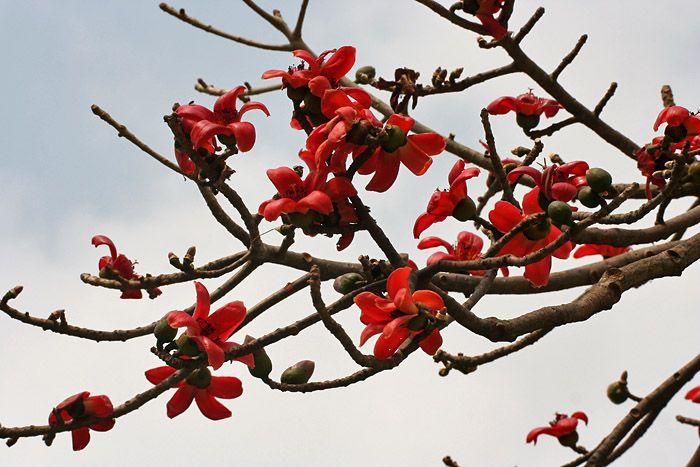 Bombax Ceiba/ The Red Silk Cotton Tree