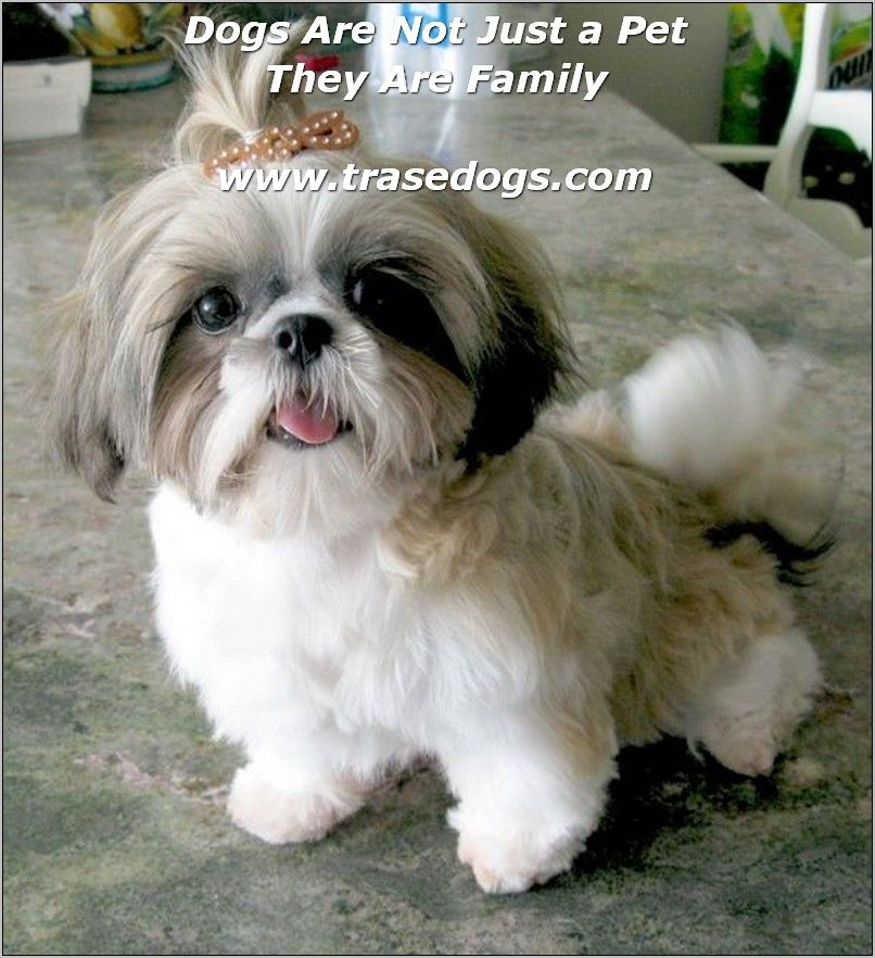 Owning The Perfect Dog For Your Family Shih Tzu Puppy Shih Tzu