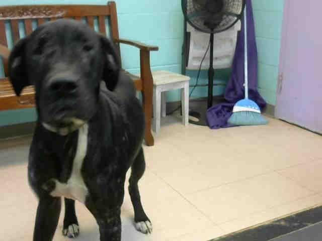 Great Dane Dog For Adoption In Lufkin Tx Adn 809508 On