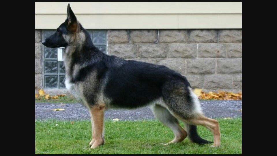 Great Structure German Shepherd Dogs Shepherd Dog Dog Breeds