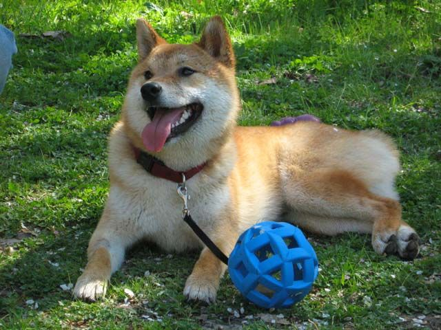 Shiba Inu Smiling With Mouth Open And Tongue Out Lying Next To A