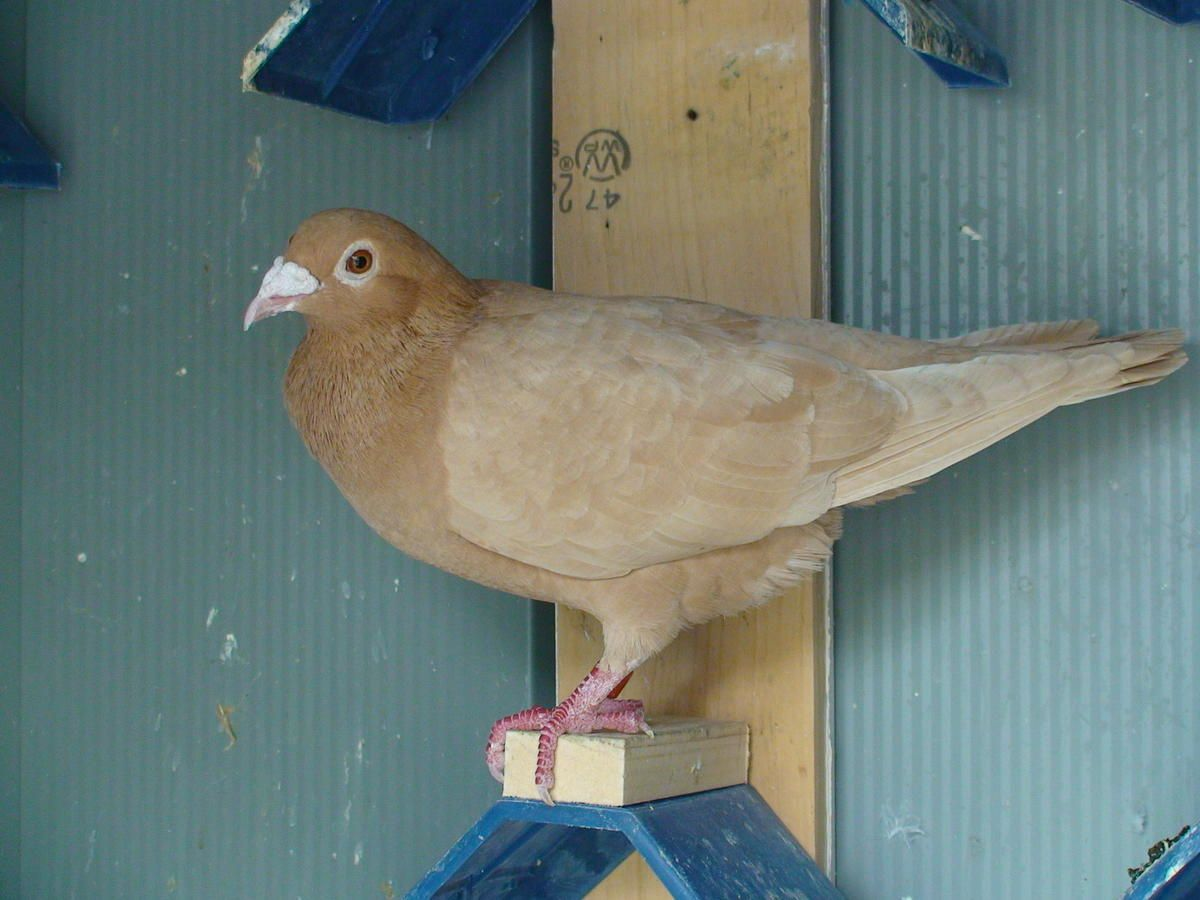 Recessive Red And Yellow Racing Homing Pigeons For Sale In New